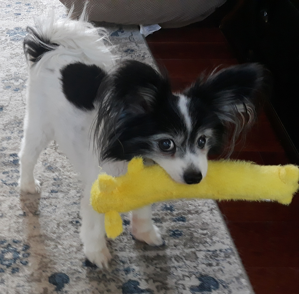 15 year old Papillon Moose aka Iron Moose with toy