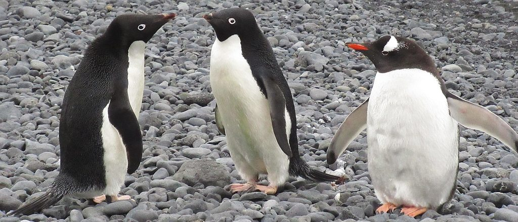 Adélie penguins on Brown Bluff being watched by a Gentoo Penguin